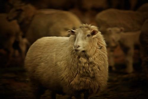 Golden Ewe
