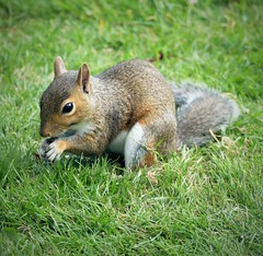 Grey squirrel 3 ( Sciurus carolinensis).  Lumix DMC FZ1000. P106098.