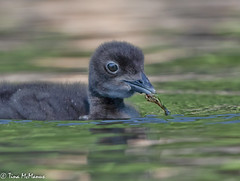 Image by NorthShoreTina (northshoretina) and image name Baby Loon with a weed photo
