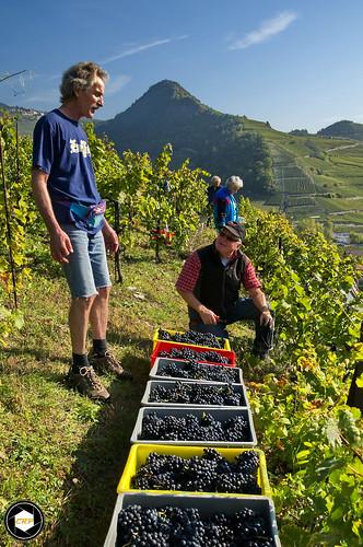 Harvest of Gamay, Conthey, Switzerland