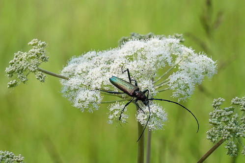 Käfer: Moschusbock / Aromia moschata