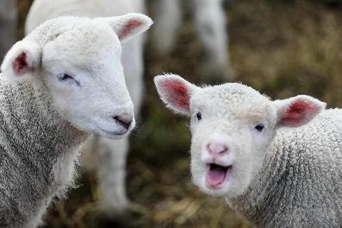 Hammy Lamb