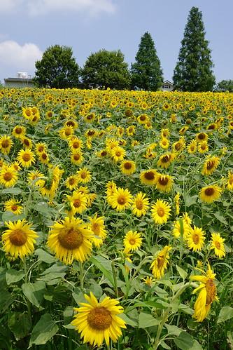 愛知牧場ひまわり畑