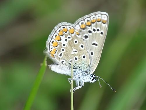 Polyommatus icarus - Hauhechel-Bläuling