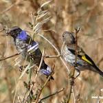 Aves en las lagunas de La Guardia (Toledo) 28-7-2019