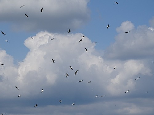 Ciconia ciconia - Weißstorch, einTeil von über 100 Ex.