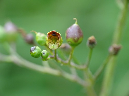 Scrophularia nodosa - Knotige Braunwurz