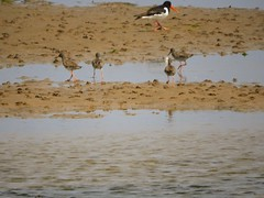 Oystercatcher and Redhanks