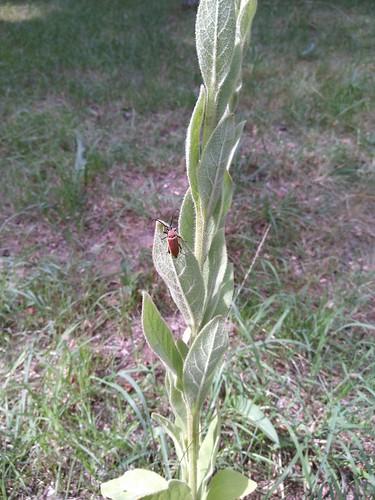 Gemeiner Schmalbock (Stenurella melanura)
