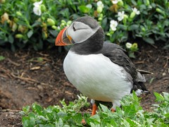 Puffin on Inner Farne