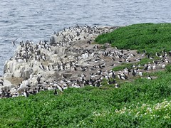 Puffins and Guillemots on Inner Farne