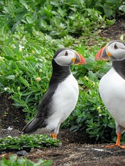 Puffins on Inner Farne