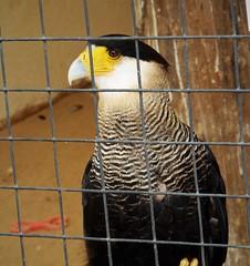 Northern Crested Caracara. (Caracara cheriway)