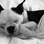 by bartlewife - Princess Peach has been making herself at home. ❤️ #bostonterrier #bostonsofinstagram