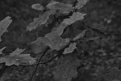 Bladeren, zwart en wit (135FJAKA_2341)