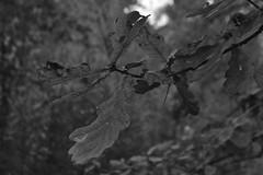 Bladeren, zwart en wit (135FJAKA_2340)