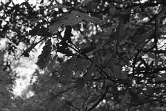 Bladeren, zwart en wit (135FJAKA_2339)