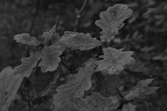 Bladeren, zwart en wit (135FJAKA_2343)