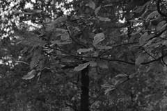 Bladeren, zwart en wit (135FJAKA_2338)