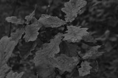 Bladeren, zwart en wit (135FJAKA_2342)