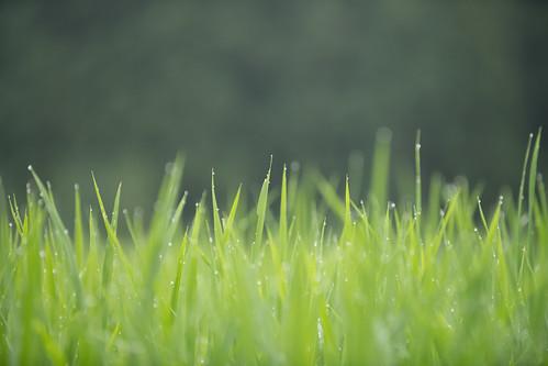 20190709 Yotsuya Terraced Rice Paddy 4