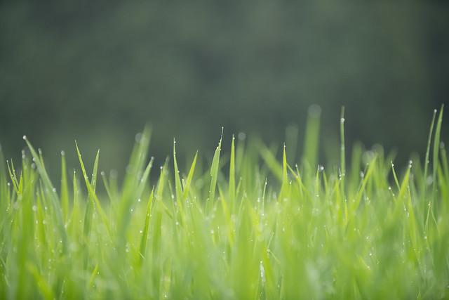 Photo:20190709 Yotsuya Terraced Rice Paddy 4 By BONGURI