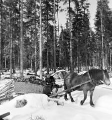 Transport of charcoal, Moraskog (Mora forest), Dalarna, Sweden