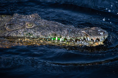 Radioactive American Crocodile