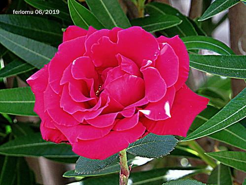 Ocaña (Toledo) 20190622 04 rosa