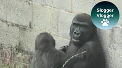 Gorilla Shufai Takes A Ride On His Brother