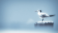 Royal Tern Seagull