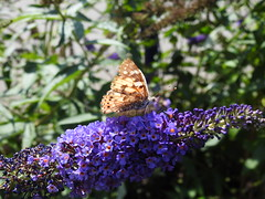 Painted Lady DSCN2894