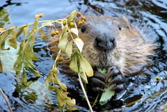 The hungry beaver in wilderness.