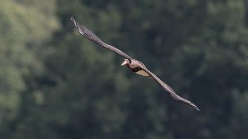 Cigogne noire Ciconia nigra - Black Stork