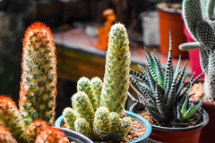 Small cactus plant, bokeh shot
