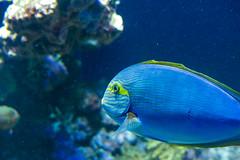 Yelllowfin surgeonfish