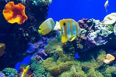 Beaked coralfish, chelmon rostratus