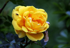 The flies on the yellow rose.