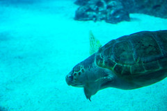 Diving sea turtle