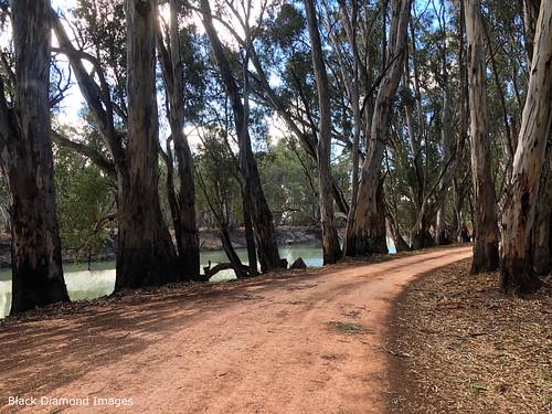 Eucalyptus camaldulensis - River Red Gum, Murrumbidgee River, Balranald, South West, NSW