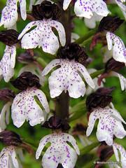 Orchids 2 - Moulismes Nature