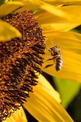 Bee landing on a sunflower