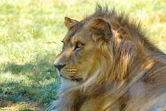 Lion - Photo of Mortcerf