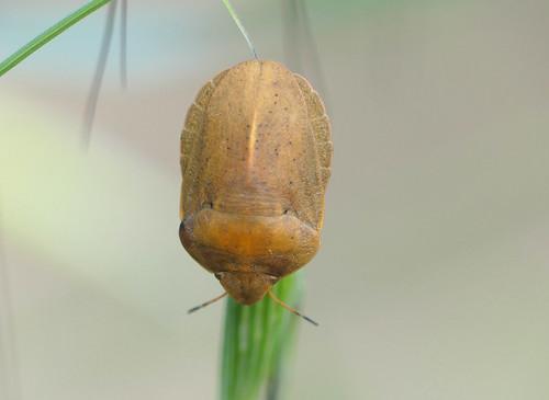 Tortoise Shieldbug (Eurygaster austriaca)
