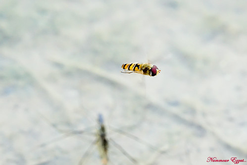 Syrphe hoverfly