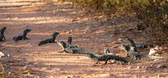 Jacare Caimans (Caiman yacare) group of neonates crossing the road ...