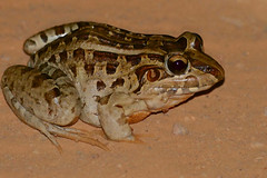 Cei's White-lipped Frog (Leptodactylus chaquensis)