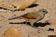 Greyish Baywing (Agelaioides badius)