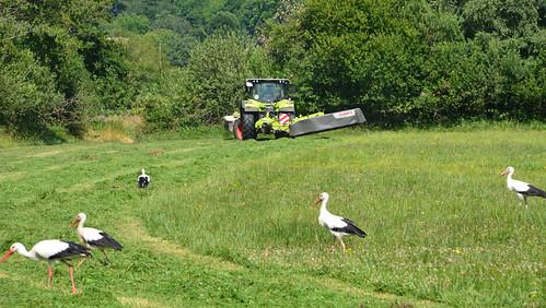 Les cigognes  -  Storks
