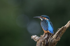 Image by peterspencer49 (35972709@N03) and image name Kingfisher (f) photo